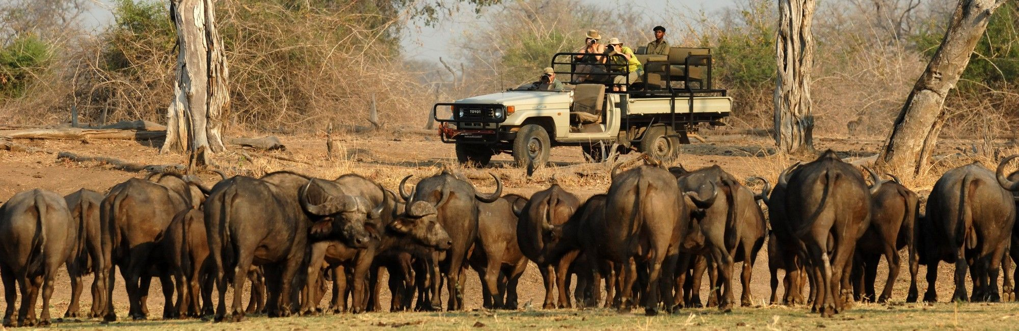 Zambia Game drive buffel
