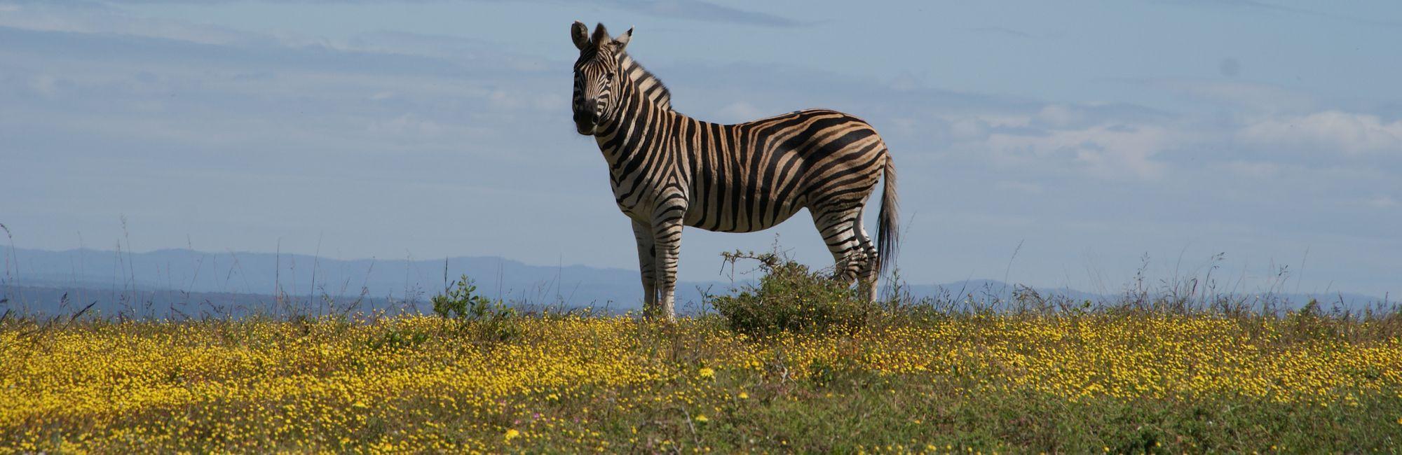 Rondreis Zuid-Afrika: Kaapstad, Tuinroute en Safari