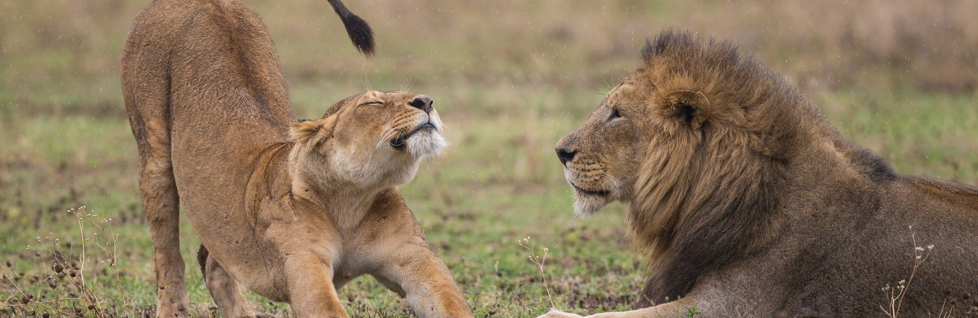 Zuid-Afrika leeuw