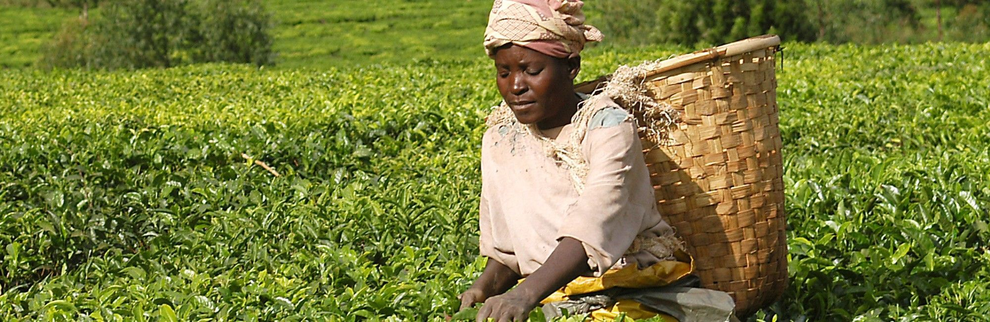 Malawi Theeplantage