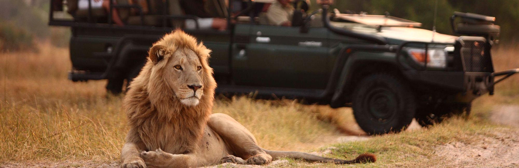 Home game drive lion