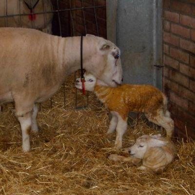 De eerste lammetjes zijn geboren
