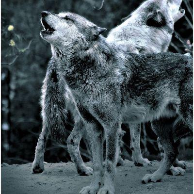 Irene van Eijk geeft wolvenboek uit