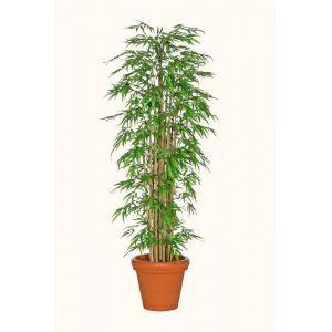 Bamboe boom in terracotta plantenbak