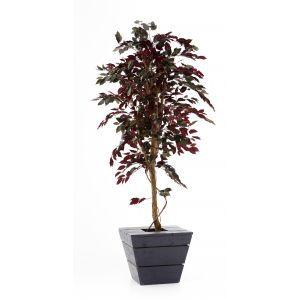 Ficus rood ca. 210 cm in antraciet plantenbak