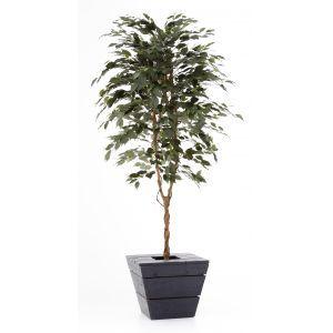 Ficus groen ca. 210 cm. in antraciet plantenbak