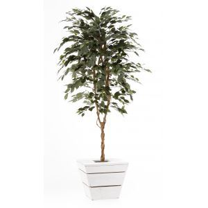 Ficus groen ca. 210 cm in witte plantenbak