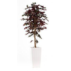 Ficus rood ca. 260 cm in hoogglans witte plantenbak