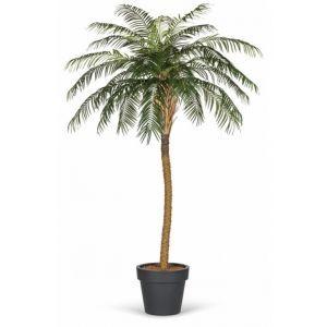 Palmboom (h)180-210 cm.