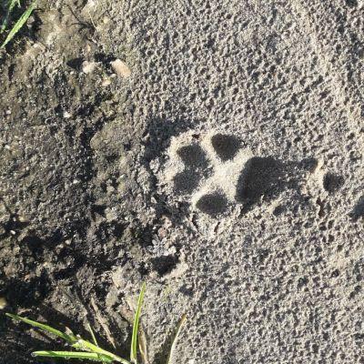 Nu op de Eng: Sporen van vossen