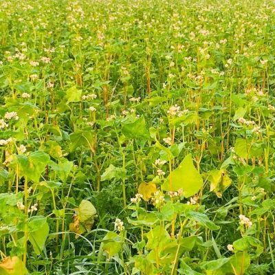 Boekweit bloeit op gemengde akker