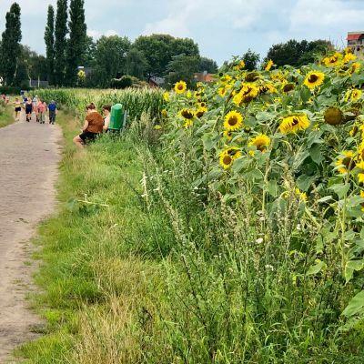 Een uitstekende zomer voor zonnebloemen